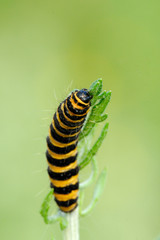 Cinnabar Moth caterpillar feeding on Ragwort