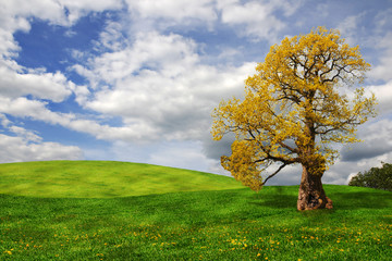Old oak tree in the field