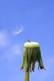 Dandelion seed: endurance poster