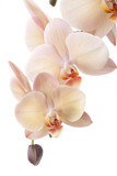 Fototapety Isolated orchid flowers on white