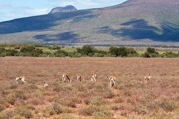Herd of Springbok on a plain in the Karoo, South Africa