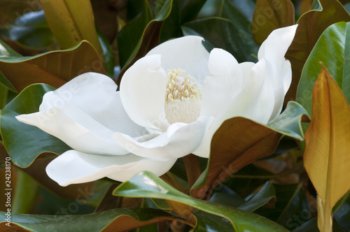 Foto op Canvas Magnolia Flower of the Magnolia grandiflora