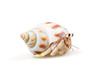 Hermit Crab - 24241582