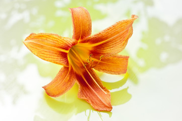 Tiger Lilly Flower with reflection