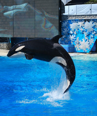 Killer whale jumps