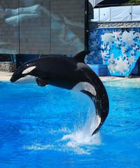 Killer whale jumps