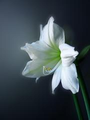amarylis  - lilia flower
