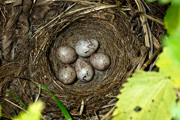 Yellowhammer, Emberiza citrinella. Nest with eggs