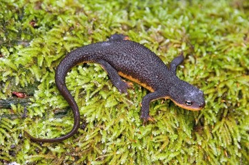 A Rough-Skinned Newt; Santa Cruz County, California, Usa