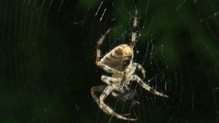 eating spider
