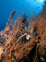lionfish in gorgonian sea fan