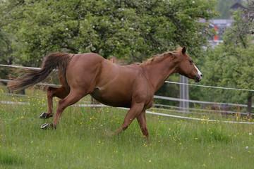 galoppierendes Quarter Horse