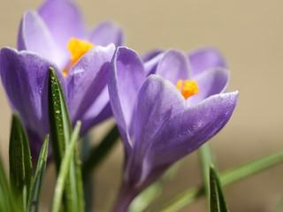 Closeup of violet crocus in a garden