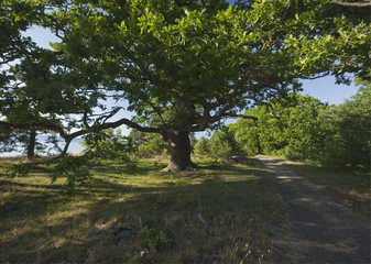 Oak tree and path