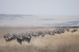 Migrating Herd Of Wildebeest, Masai Mara, Kenya, Africa poster