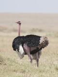 Male Ostrich, Masai Mara, Kenya, Africa