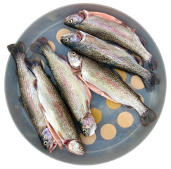 rainbow trout isolated