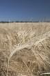 Close Up Of Rip Barley