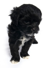 Little Shihtzu puppy cute dog in isolated