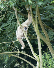 Gibbon Monkey in a tree