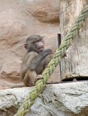 Baby Gorilla Eating