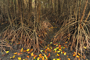 root of mangrove