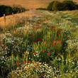 Wildflowers, Cranborne Chase, Dorset, UK