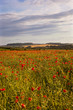 Summer poppies, Nr Wimborne, Dorset, UK