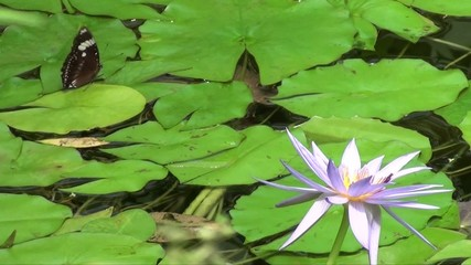 Butterfly and Lilypads