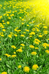 Meadow of flowering dandelion