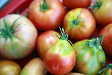 Freshness tomatoes just from garden