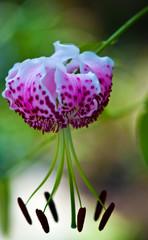 Oriental lily - Lillium speciosum