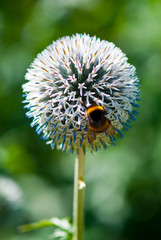 Bumblebee on globe daisy
