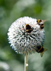 Three bumblebees on globe daisy