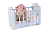 Curious Cavy in a baby cot poster