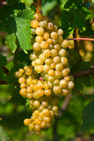 Yellow grapes