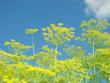 Inflorescence of fennel against the sky