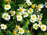 Camomile flowers on a country bed
