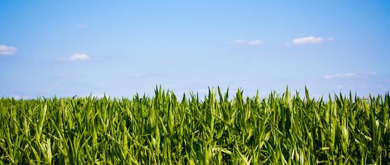 Maisfeld und blauer Himmel