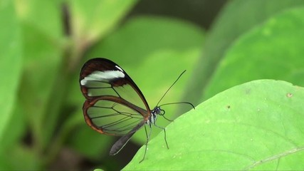 Glasswing Butterfly flying in Slow Motion