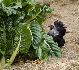 backyard self suffiiciency - organic gardening bantam hen