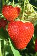 Erdbeeren.