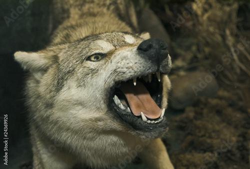 Fototapeta zwierzę - ząb - Dziki Ssak