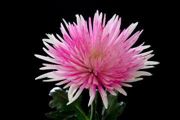 Pink and White Chrysanthemum on Black Background