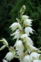 Kerzen-Palmlilie - Yucca gloriosa