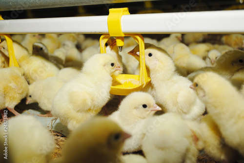 Fotobehang Kip Big poultry rearing farm, chicken drinking
