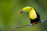 Keel Billed Toucan, from Central America. - Fine Art prints