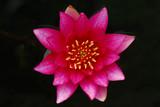 ninfea fiori 517