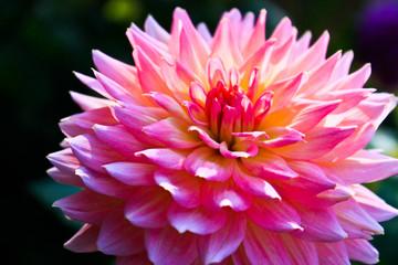 Pink Marigold