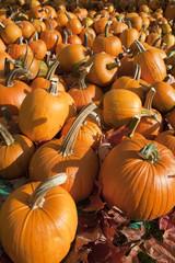 Ripe Pumpkins on Display